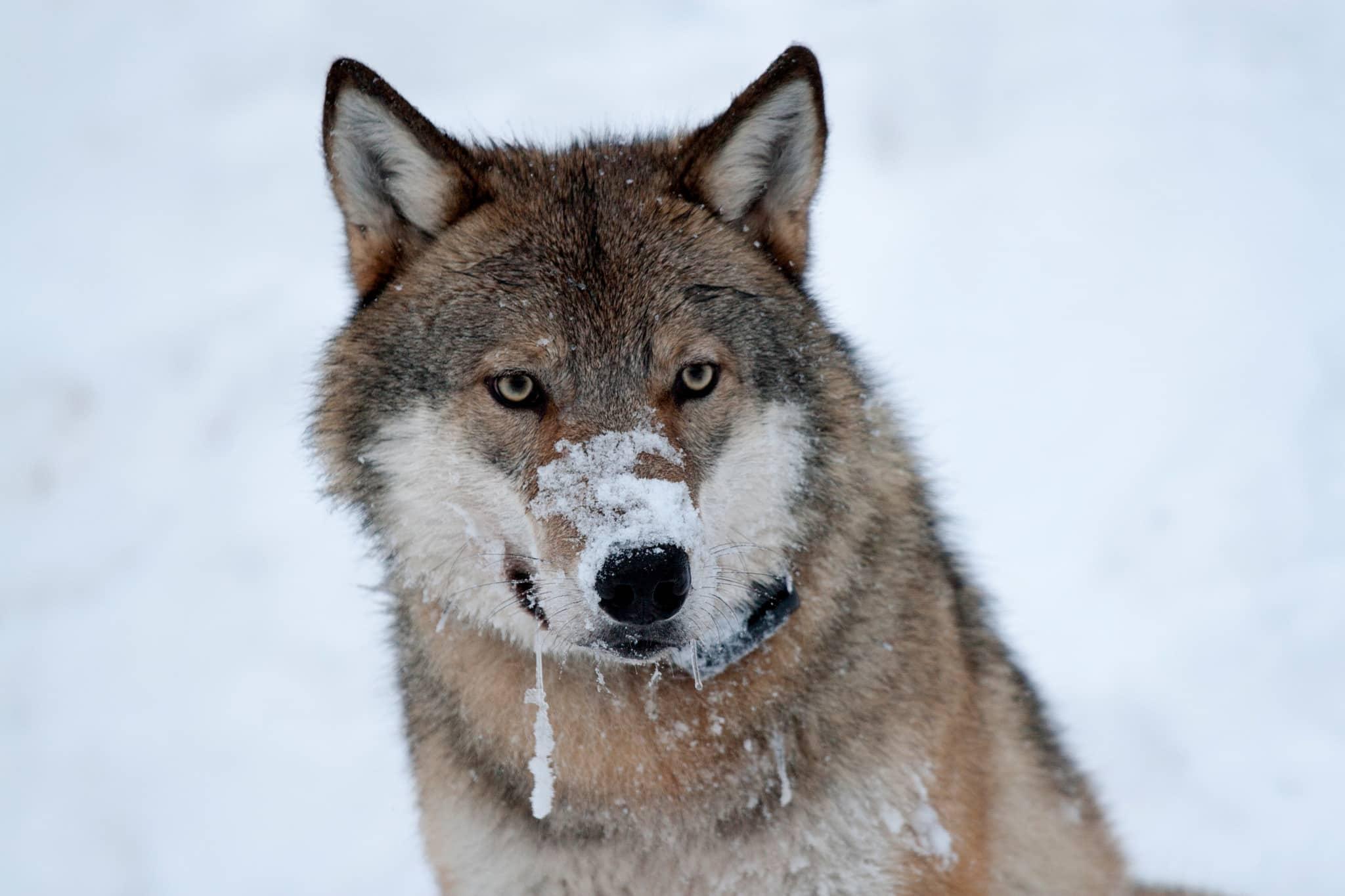 Den norska licensjakten på varg har fått klartecken att fortsätta av Oslo tingsrätt.