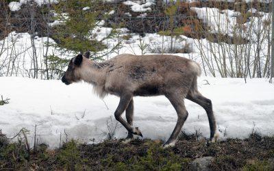 Järvar har på kort tid dödat ett stort antal renar inom Jovnevaerie sameby. Nu ger länsstyrelsen i Västernorrland tillstånd till skyddsjakt. Foto: Lars-Henrik Andersson