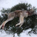 Den kraftigt skabbangripna vargen var en årsvalp, en tik. Foto: Privat