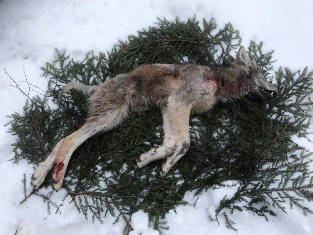 Skjut inte vargar som drabbats av skabb, anser skribenten. Den här kraftigt skabbangripna vargen fälldes nyligen under licensjakt i Flatenreviret. Foto: Privat