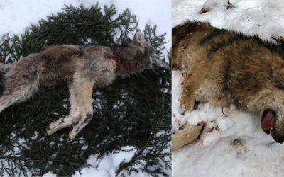 Vargar drabbade av skabb som fälldes vid den första licensjaktdagen. Foto: Privat samt Boo Westlund