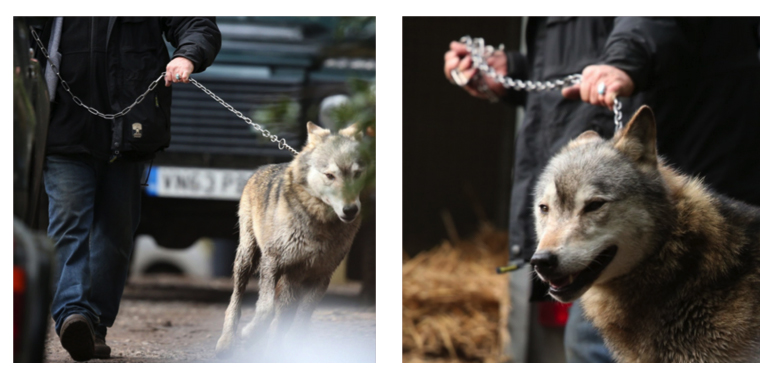 Skärmavbilder från The Telegraph som visar när man kopplat upp vargen.