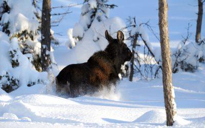 Snön ligger på sina ställen djup i Dalarnas län, och nu avråder länsstyrelsen från jakt med lös hund. Foto: Kenneth Johansson