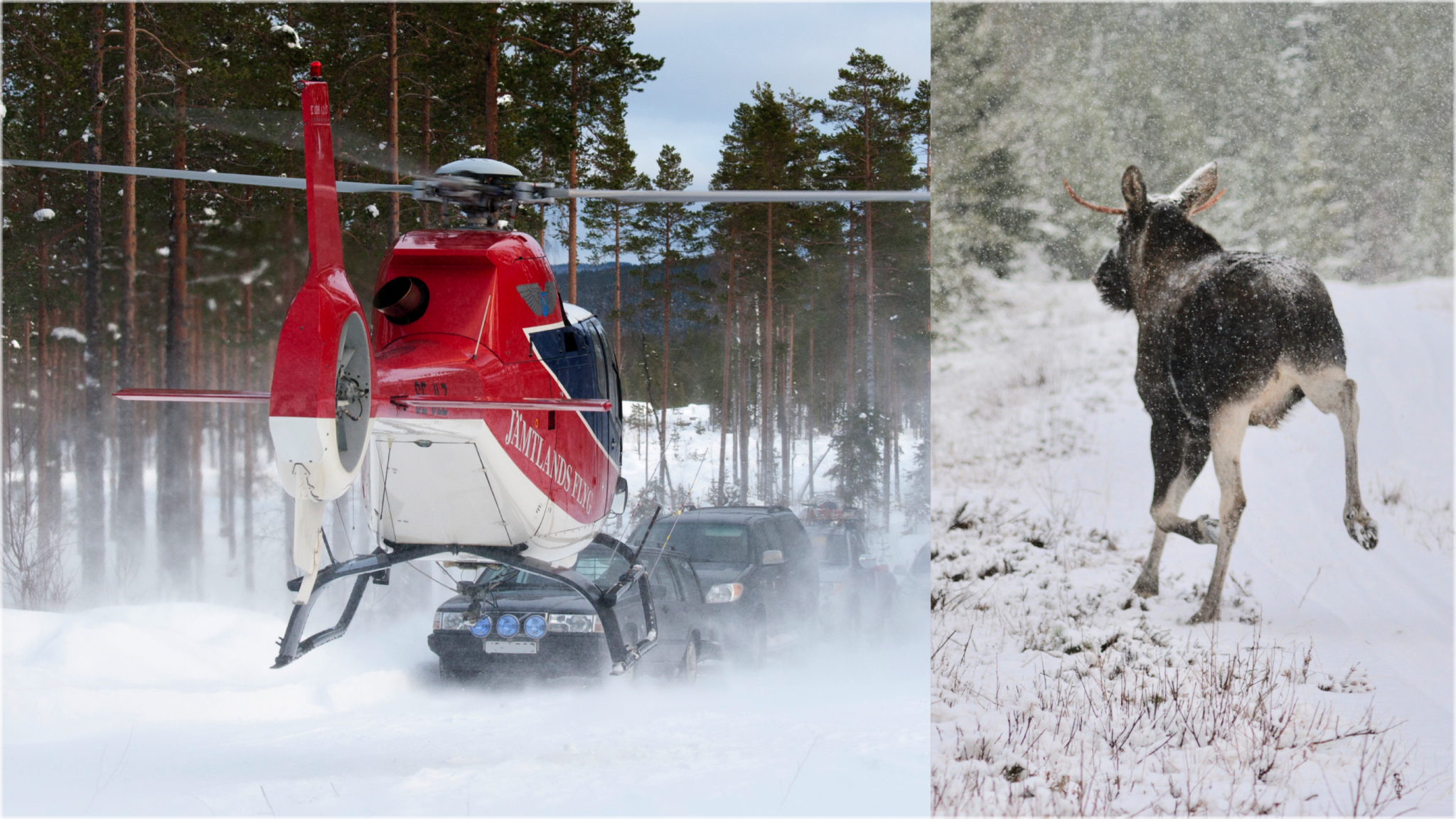 Regelbundna flyginventeringar är det säkraste sättet att få en bild av älgstammens storlek, skriver debattören. Foto: Olle Olsson (helikopter) och Johnny Olsson (älg)