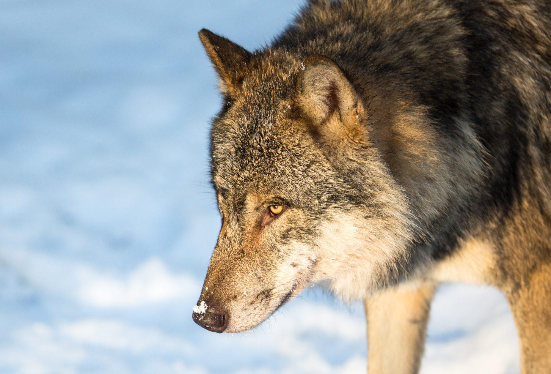 Politiker i svenska Österbotten kräver ökad jakt på varg. Foto: Mostphotos