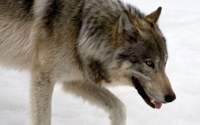 Ytterligare tre vargar ska fällas i Norge. Detta efter beslut av den norska regeringen.