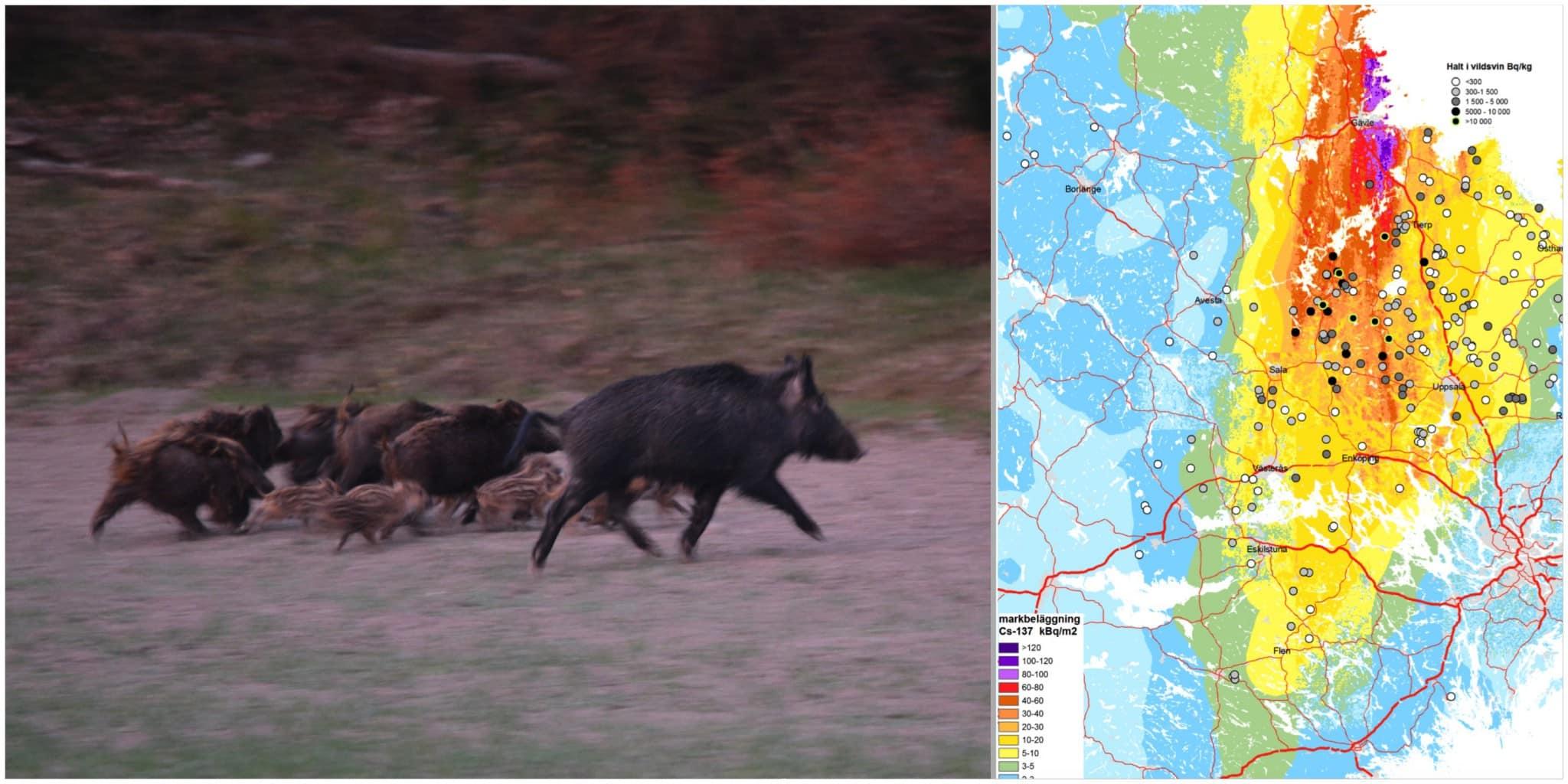 Analyser visar att ett flertal vildsvin överstiger, eller ligger mycket nära, den nivå där Livsmedelverkets kostråd avråder från att alls äta köttet.