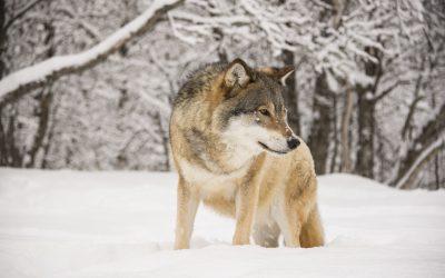 Den sjätte och sista vargen sköts i Kölstareviret under torsdagen. Därmed är vargjakten avslutad i Västmanland. Foto: Mostphotos