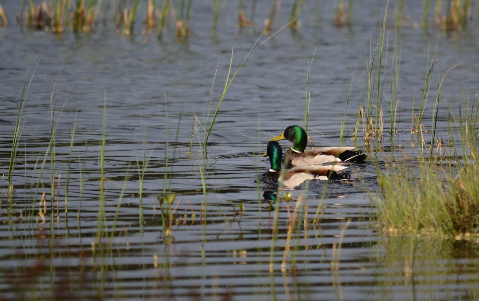 Regeringen satsar under tre år totalt 600 miljoner kronor på våtmarker. Satsningen ska motverka torka och säkra grundvattennivåer i utsatta områden. Foto: Johnny Olsson