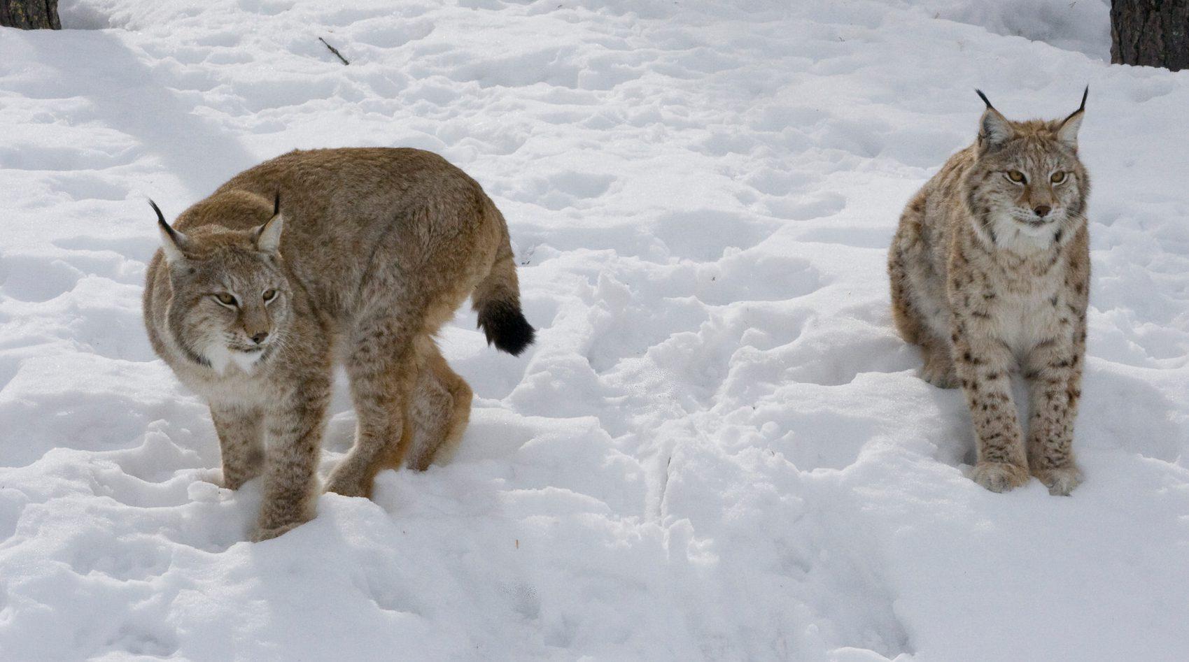 Länsstyrelsen i Jämtland har beslutat om skyddsjakt på en lodjurshona med två ungar. Lodjuren härjar svårt bland renarna i Handölsdalens sameby. Foto: Mostphotos