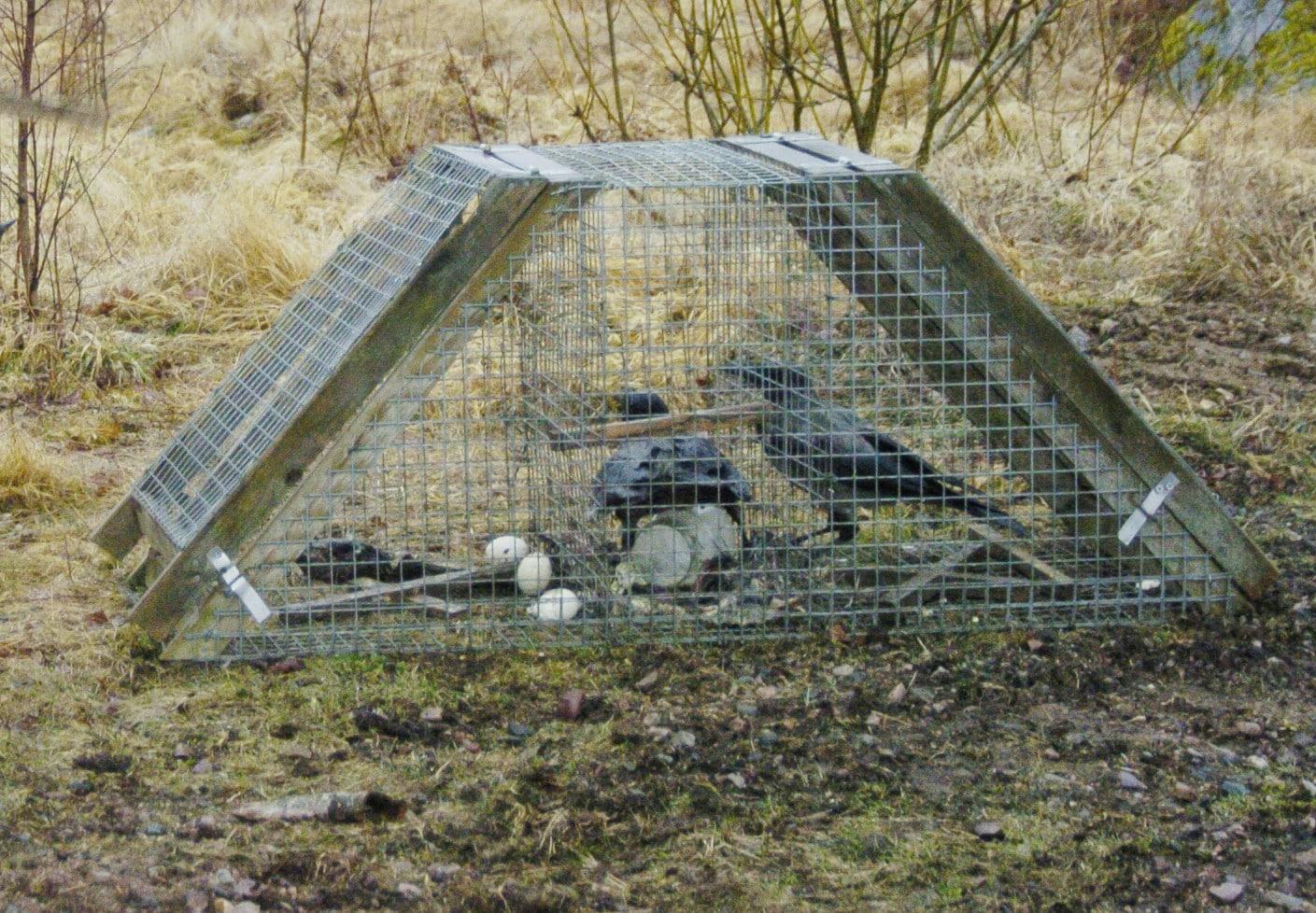 Kråkfångsten är en hörnsten i den utökade predatorjakten som görs för att gynna strandängarnas vadarfåglar. Ett Ölandsbås som på bilden är mycket effektivt när revirkråkor ska tas bort.