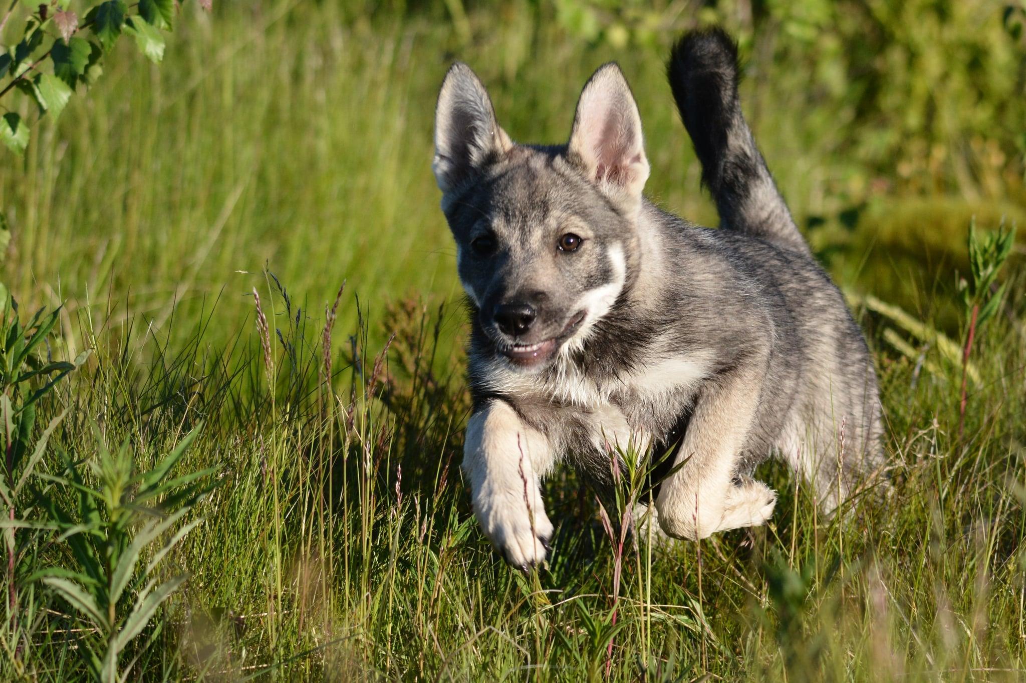 Som uppfödare inom SKK-organisationen är man skyldig att använda Kennelklubbens köpeavtal vid försäljning av valpar.