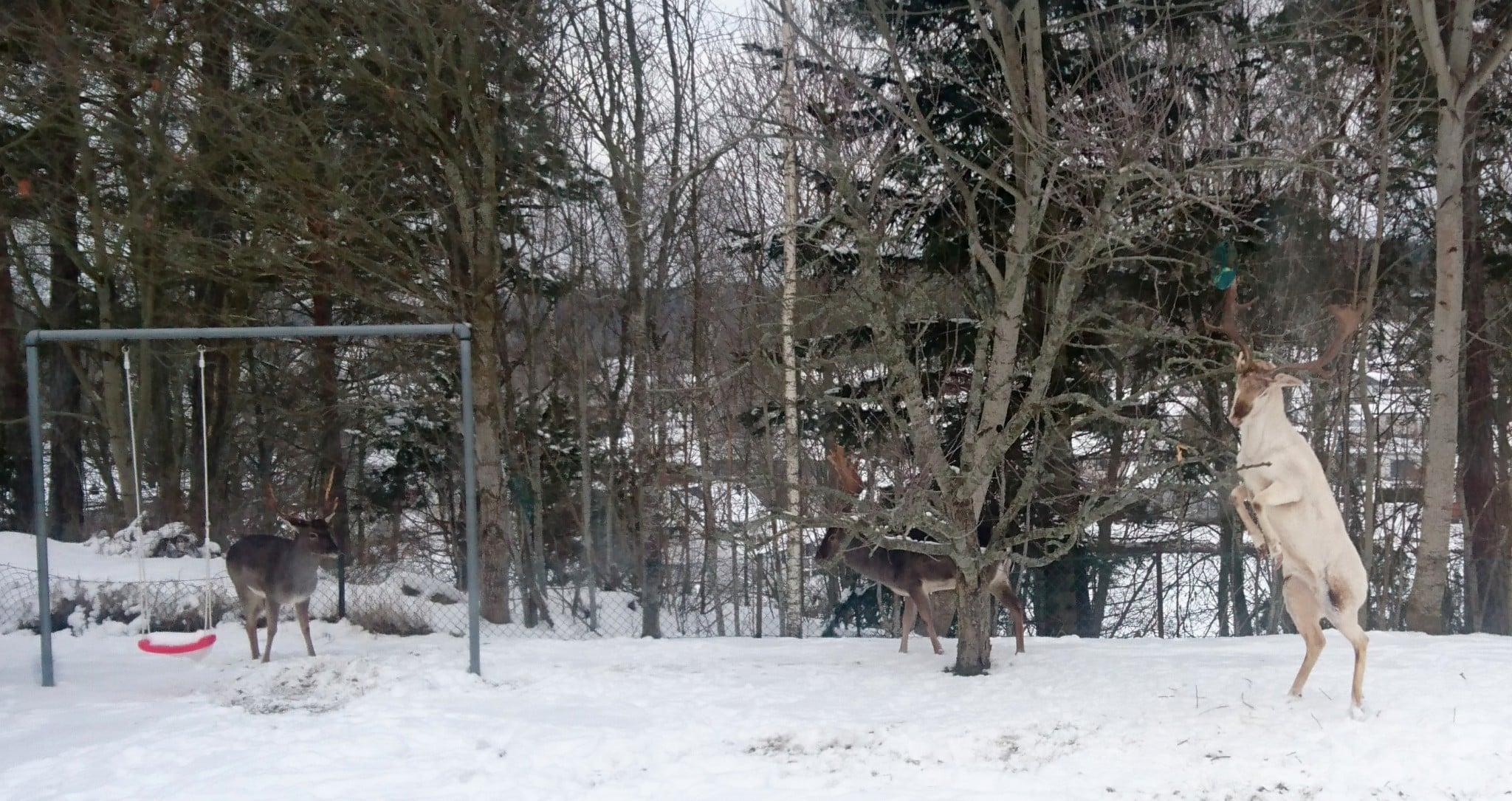 Hjorten stångar till behållaren med talgbollarna, för att få ner den från trädet. Ytterligare två hjortar är framme i trädgården samtidigt.