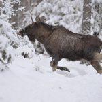 Skyddsjakten på totalt 24 älgar i två viltvårdsområden i Västerbotten får fortsätta. Naturvårdsverket avvisar överklagandena av länsstyrelsens skyddsjaktsbeslut.