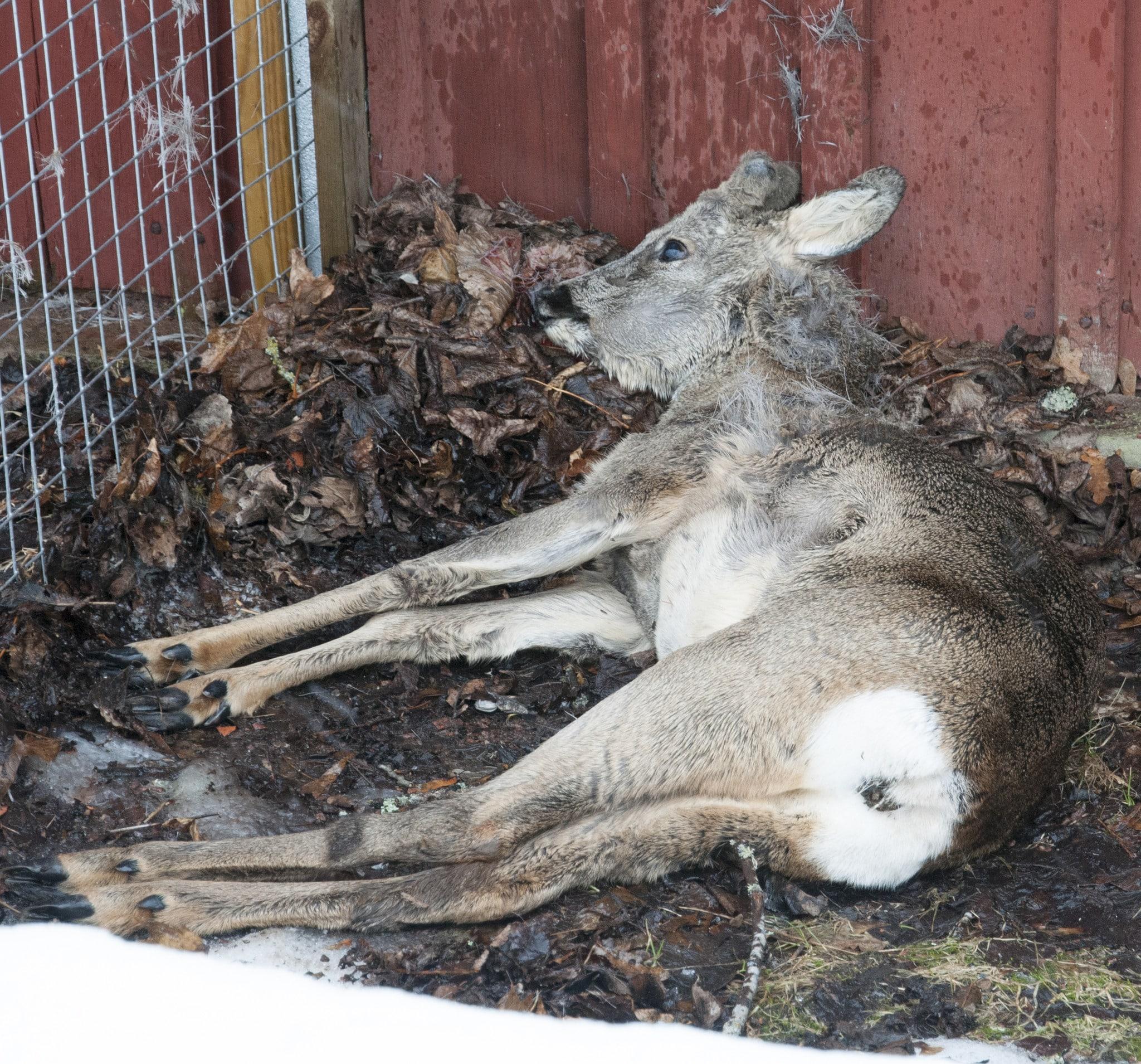 Mängder av rådjur dör av svält om de inte får hjälp under en snörik och lång vinter.