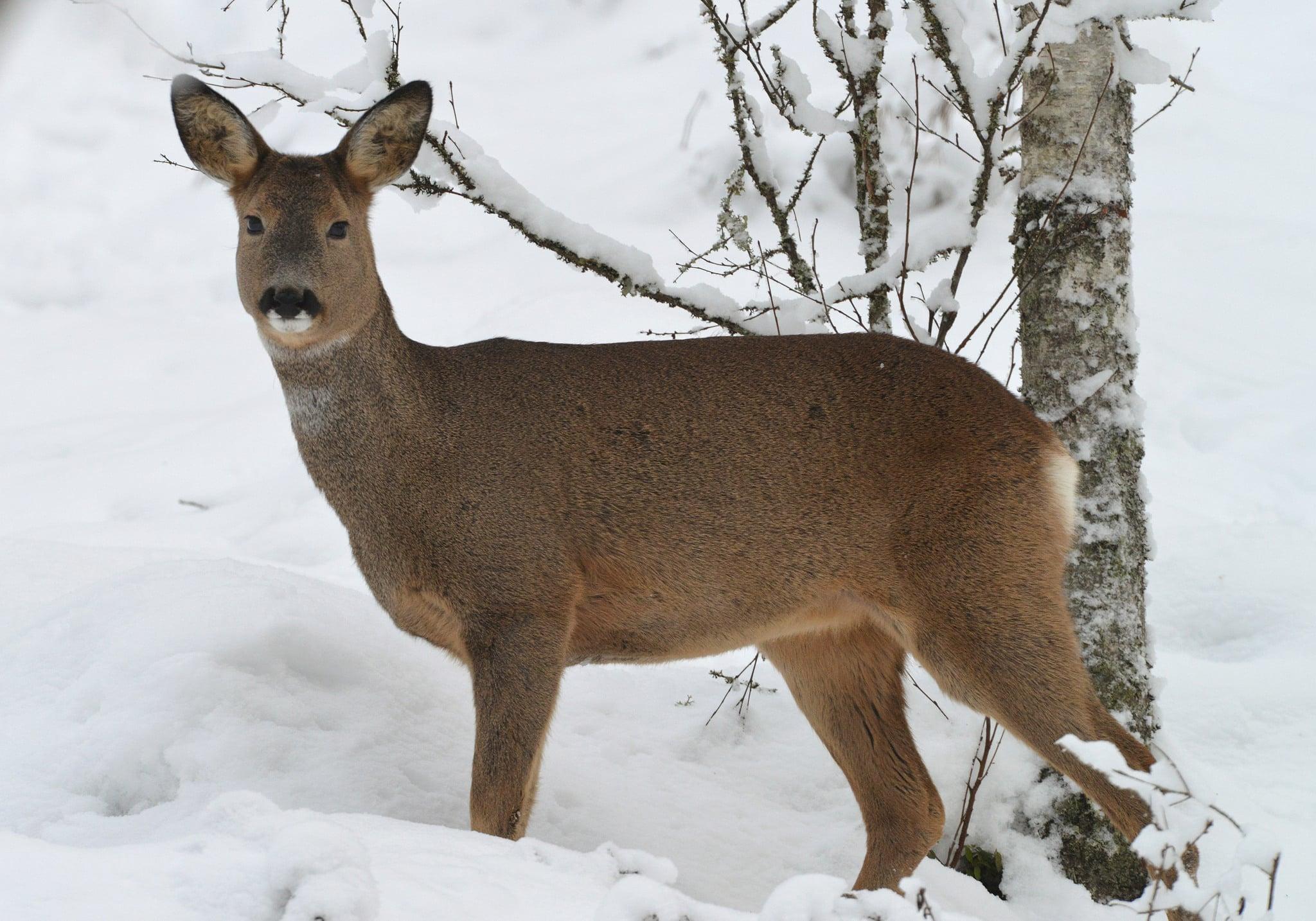 Den extremt snörika vintern är tuff för såväl rådjur som älgar.