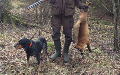Den skickliga rävhunden, luzernstövaren Zarro, blev i helgen så illa riven av ett lodjur att hans ägare Kenny Andersson i Rydaholm är långt ifrån säker på att stövaren kommer att kunna jaga igen. Foto: Privat