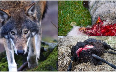 Sett till antalet individer i landet är vargen det stora rovdjur som är det största hotet mot tamboskap och hundar. Foto: Olle Olsson samt Mostphotos