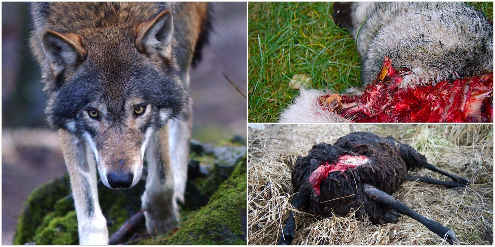 Sett till antalet individer i landet är vargen det stora rovdjur som orsakar mest skador på tamboskap och hundar. Foto: Olle Olsson samt Mostphotos