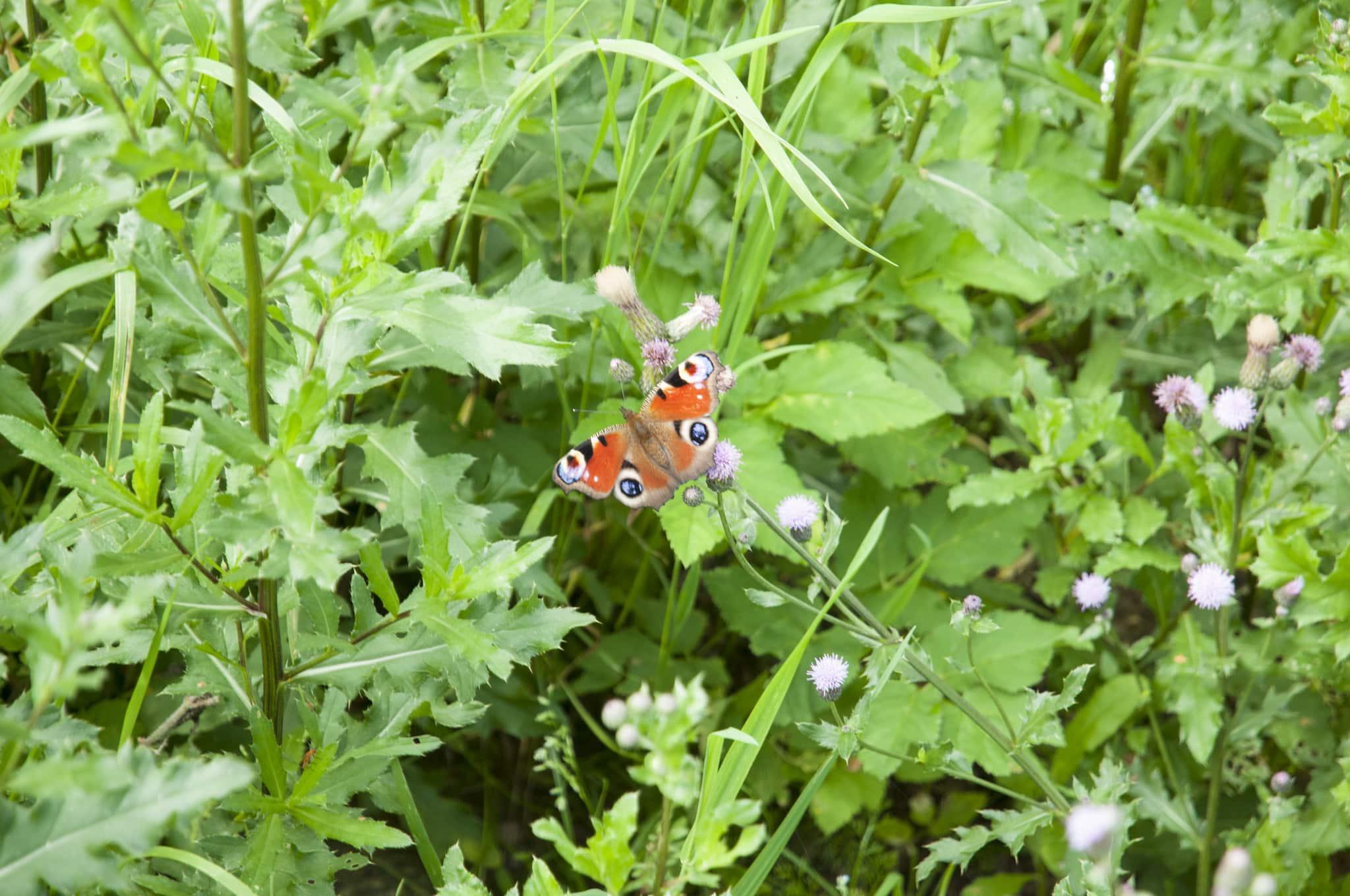 Insekter och fjärilar drar förstås nytta av blommorna i en träda, men det gynnar också fältvilt som fasan och rapphöna. Foto: Jan Henricson