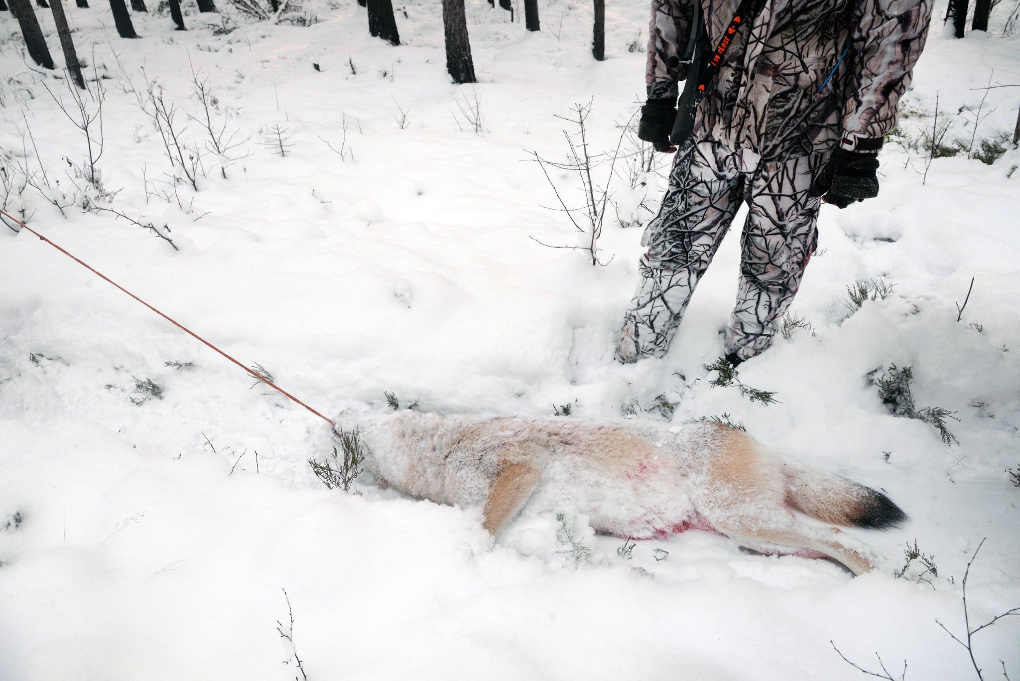 Frågan som ska avgöras i EU-domstolen gäller finsk vargjakt, men kan få återverkningar på den svenska vargförvaltningen.