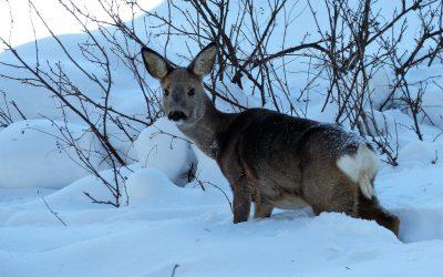 Rådjur fotograferat i Bräcke kommun. Det är ett av många rådjur i området som dör nu under vårvintern om inte det inte stödutfodras. Foto: Per Andersson