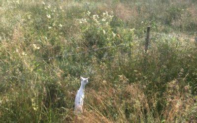 Ett av de vita rådjurskid som Bengt Eriksson såg i dikeskanten. Foto: Privat