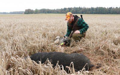 Jägarna i Tåkernbygdens jaktvårdskrets förbereder sig inför att vildsvinsskadorna på de odlade fälten kommer att öka. Foto: Boo Westlund