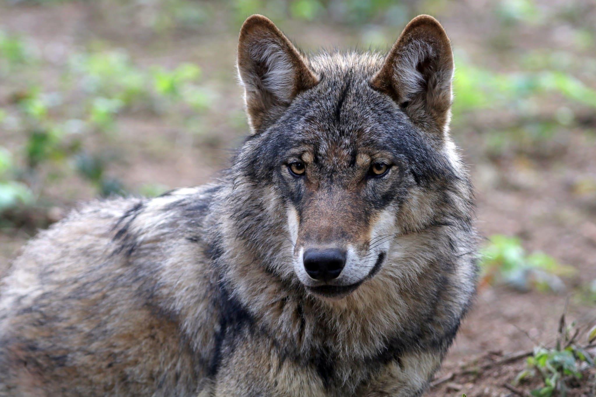300 är fortsatt gynnsam bevarandestatus för varg i Sverige. Foto: Mostphotos