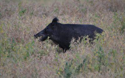 Bökande vildsvin förstör årligen stora mängder spannmål.