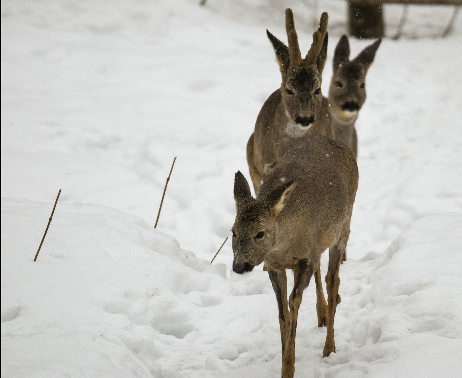 Rådjur med avskalad päls på benen. Foto: Hasse Ångman