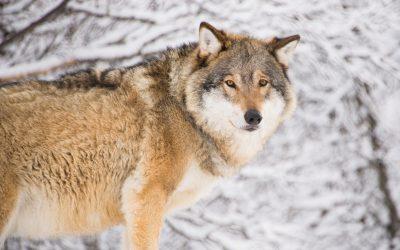"""""""Hur kan det behövas så många fler vargar här än exempelvis i Yellowstone"""", frågar sig skribenten."""