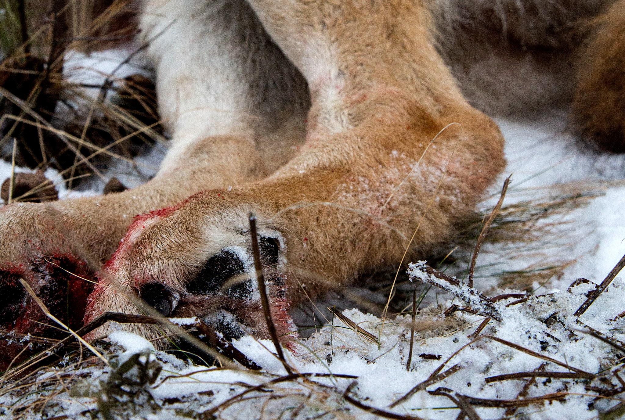 Länsstyrelsen i Södermanland beslutar om skyddsjakt på en skabbangripen varg. Arkivfoto: Olle Olsson