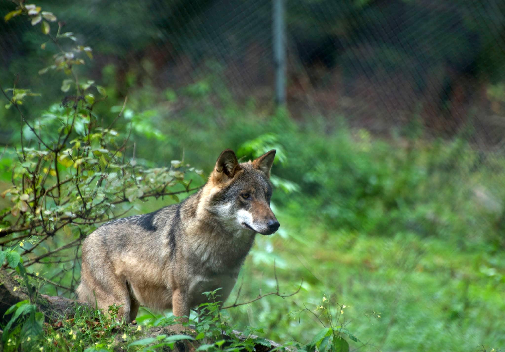 I Danmark undersöks nu möjligheterna att hägna in de vargar som finns i landet.