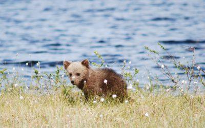 Det hittades knappt sju föryngringar av björn i Norge under 2017.