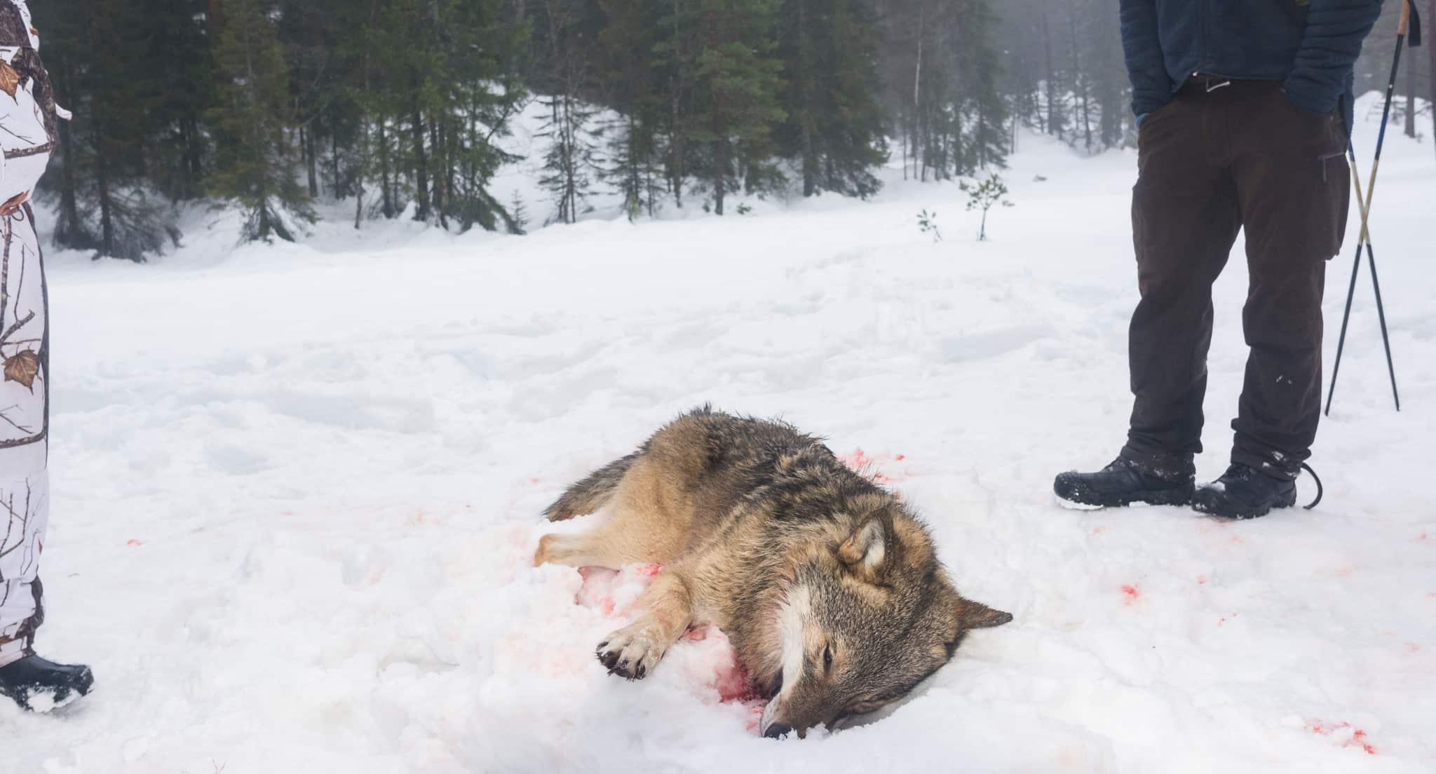 Hanvarg skjuten i Norge på ordinarie licensjakt en tidigare vinter. Foto: Kjell-Erik Moseid
