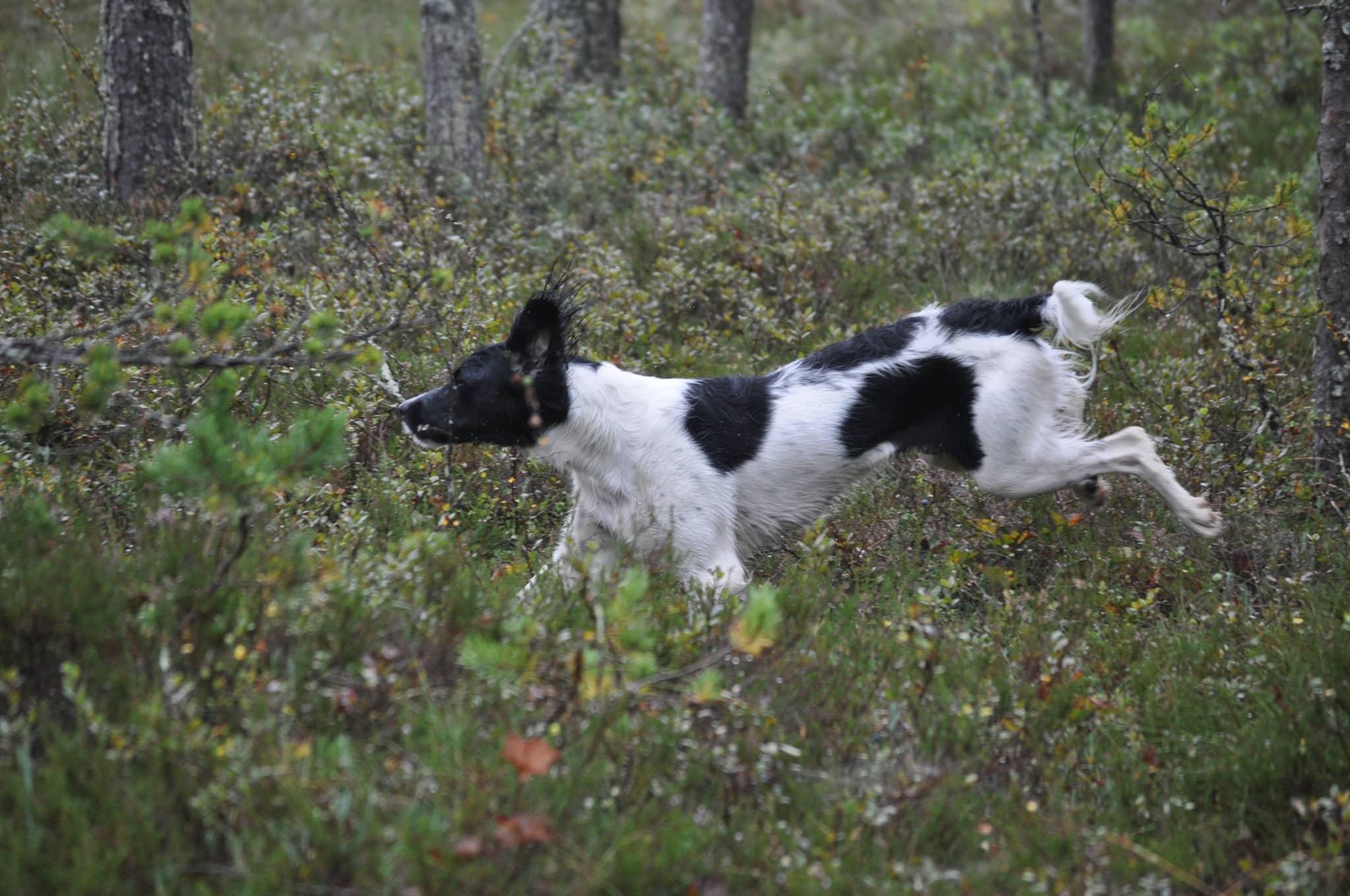 Hunden kan bli skrämd och bara dra, den glömmer bort att bakspåra sig till ägaren. Och sticker när någon närmar sig. Foto: Johnny Olsson