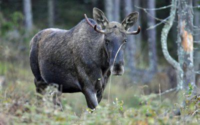 Så blir jakttiderna för älg jaktåret 2018–2019.