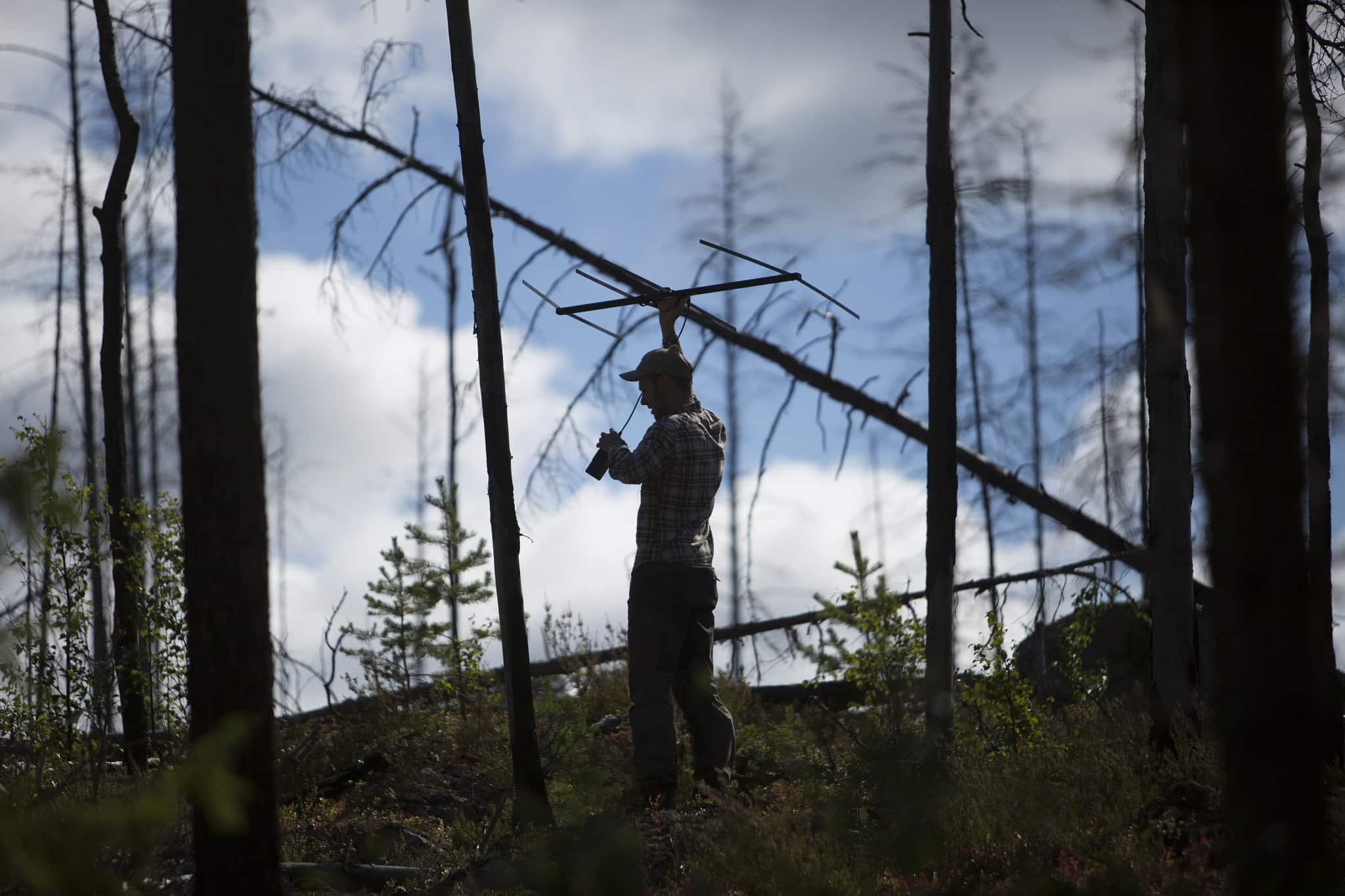 Björnforskningsprojektets fälttekniker David Ahlqvist försöker pejla in en björn som försöksjagas med hund. Foto: Olle Olsson