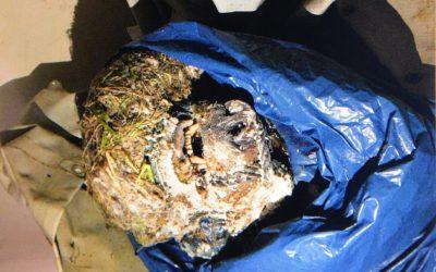 Det var den här björnskallen som 64-åringen hade lagt i en frys som tillhörde björnforskningsprojektet.