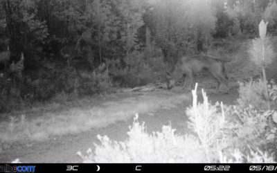 Är det den så kallade Snapphanen som har fångats på bild av en viltkamera? Foto: Länsstyrelsen Skåne