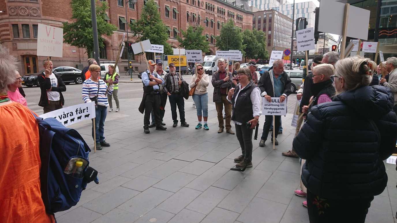 Efter ett flertal vargattacker mot fårgårdar anordnade Svenska Fåravelsförbundet på torsdagen en manifestation mot den bristande rovdjurspolitiken. Foto: Anders Lindell