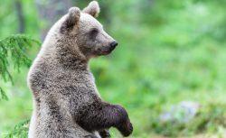 Inventering visar att det finns för många björnar i Dalarna.