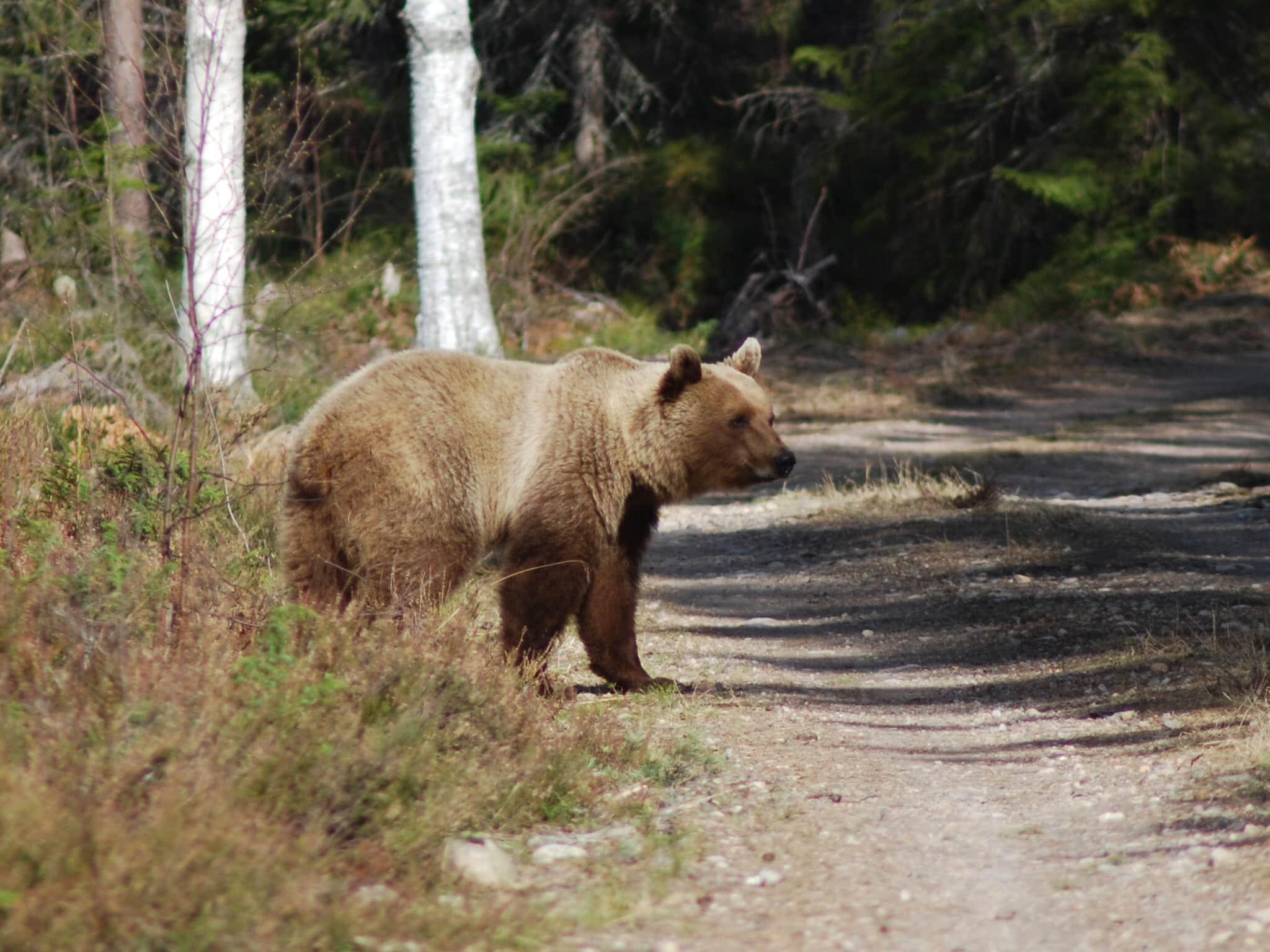 Tilldelningen för höstens björnjakt blir oförändrad i Dalarna.