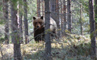Björnstammen i Gävleborgs län kan vara väsentligt högre än beslutat antal.