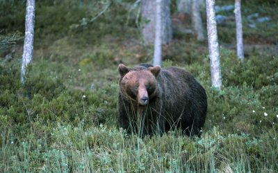 Det blir licensjakt på björn i Norrbottens län i höst.