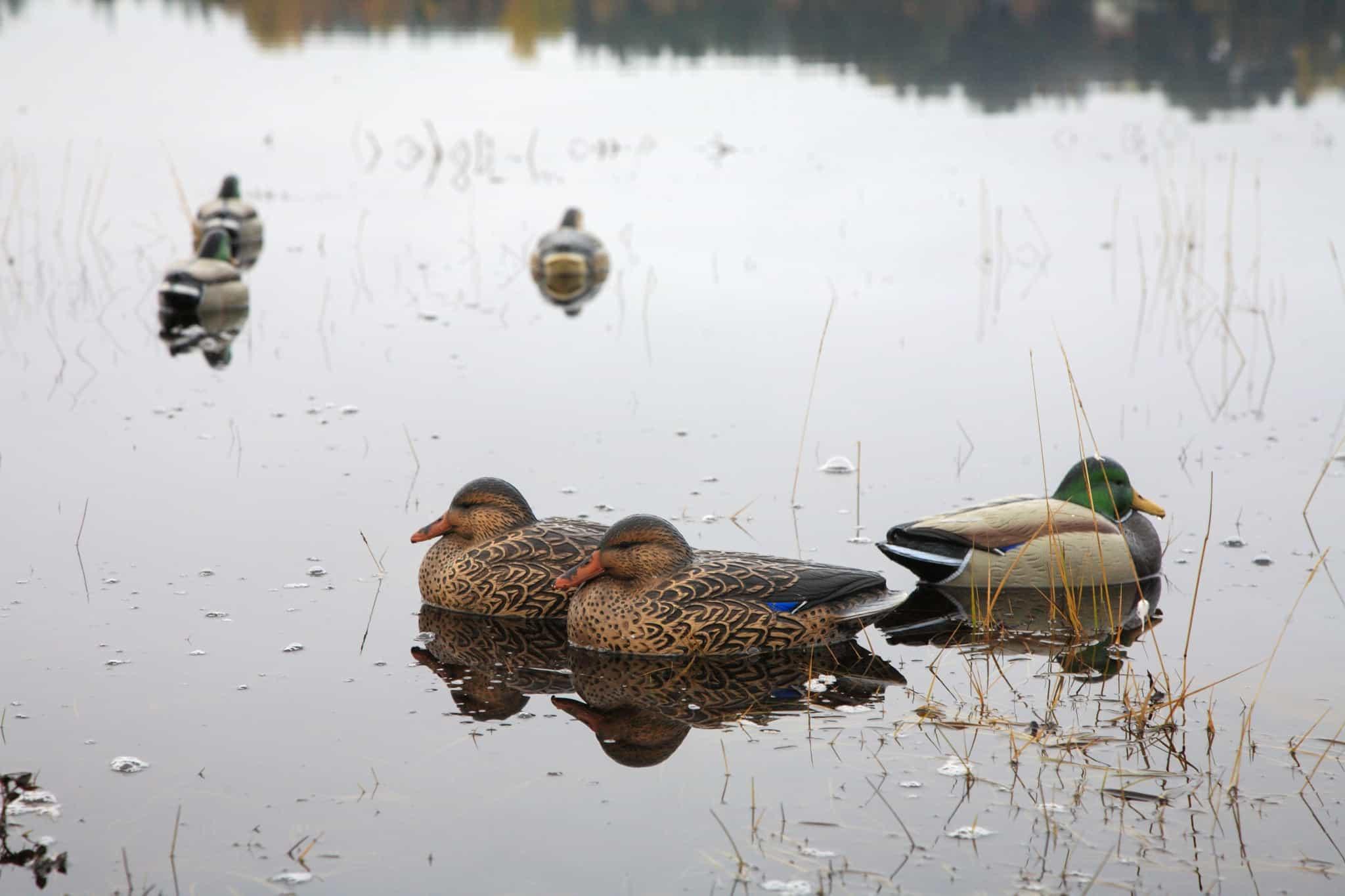 Vid jakt över grunda vatten får inte blyhagel användas. Det vanligaste alternativet är stål.