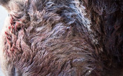 Björnjakten utökas i Gävleborgs län.