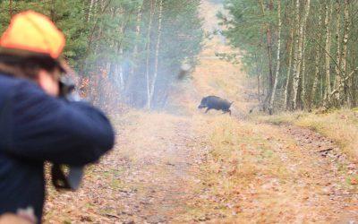 Jaktåret 2016/2017 sköts det rekordmånga vildsvin i landet.