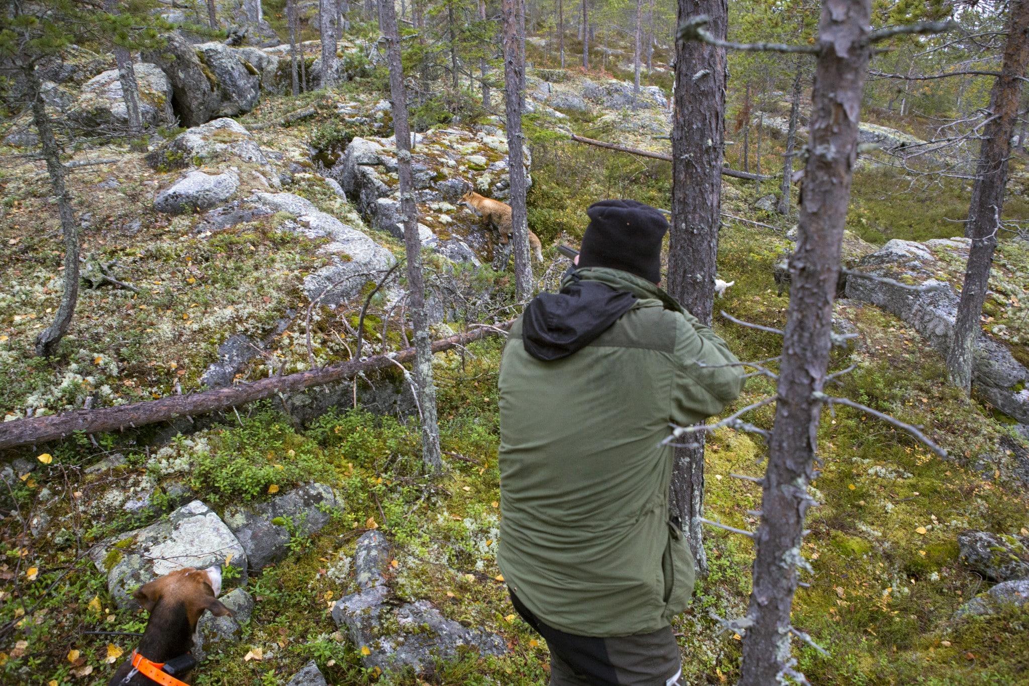 Till räv används normalt relativt grova hagel som ger tillräcklig genomträngning även på ett lite större vilt med tjock päls. När skotthållet är kort blir det förstås mindre viktigt.